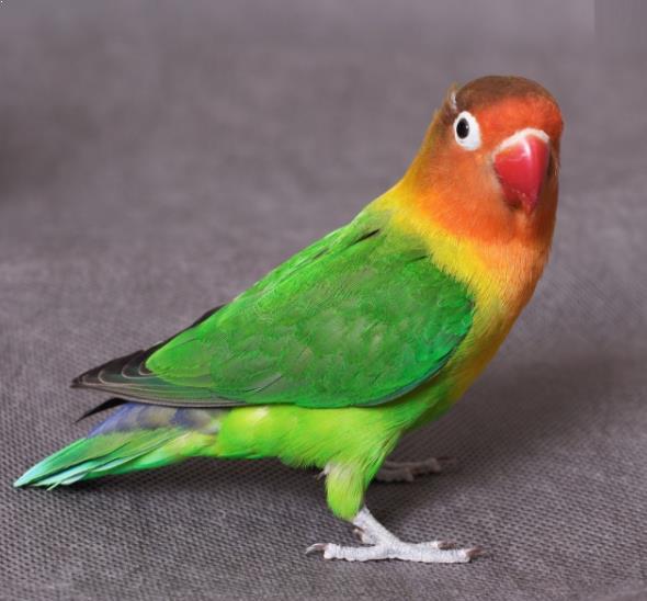 Berapa Harga Burung Lovebird Saat Ini di Pasaran   Gemar Ternak dan Kicau Burung