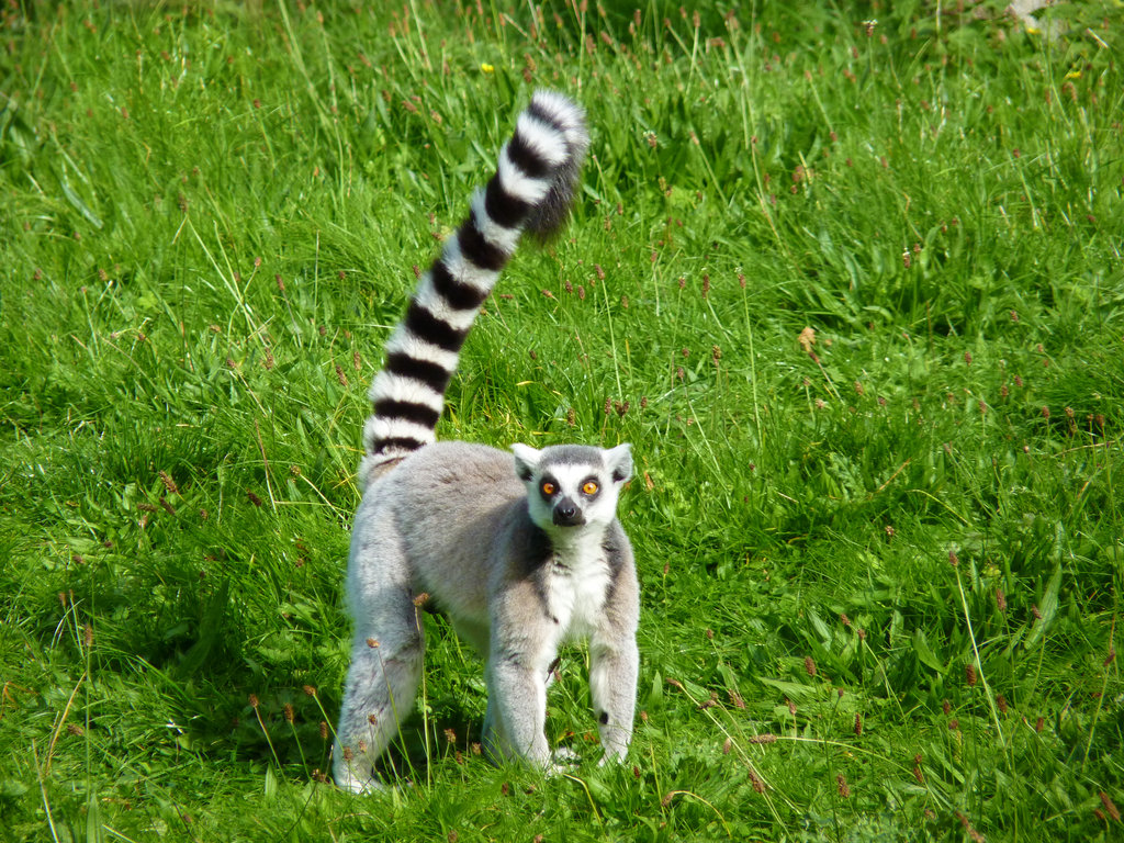 Maki Animale Lemur Animals Photos
