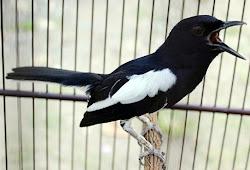 Manfaat Jahe Ramuan Yang Bikin Burung Lebih Rajin Bunyi Dan Gacor Maskicau Net