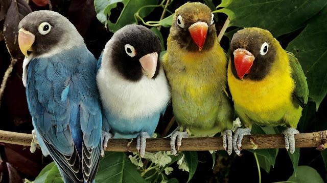 burung kakak tua warna warni