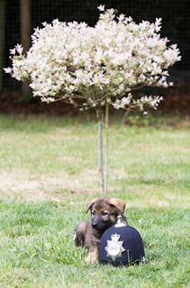 A puupy sat next to a police helmet in the garden