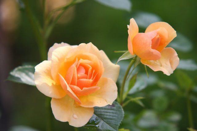 y nghia hoa hong