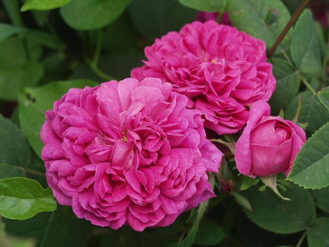 flowerpedia intoxicating fragranced roses rose de rescht rose de resht. Black Bedroom Furniture Sets. Home Design Ideas