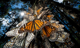 The famous migration of the North American monarch butterfly is one of the most well-documented examples of an insect species affected by climate change. (Photograph Credit: Joel Sartore/NG/Getty Images) Click to Enlarge.