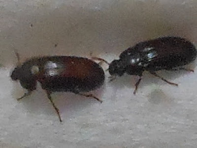 Manfaat Semut Jepang, semut jepang manfaat, khasiat semut jepang
