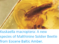 http://sciencythoughts.blogspot.co.uk/2017/10/kuskaella-macroptera-new-species-of.html