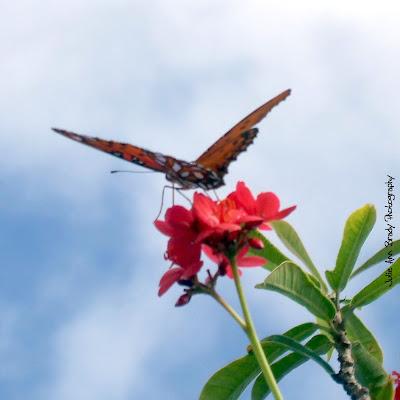 Gulf Fritillary Butterfly - Discovery Gardens