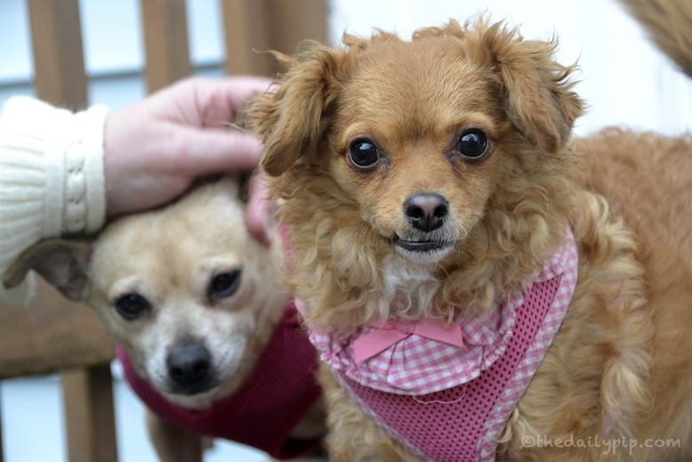 Why you should adopt and rescue puppy mill survivors