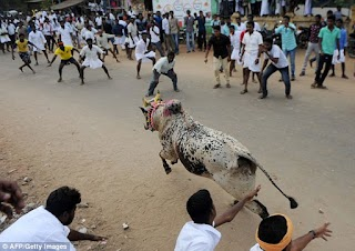 Rampaging Bulls Kill Two Men At A Festival In India (Graphic Photos)