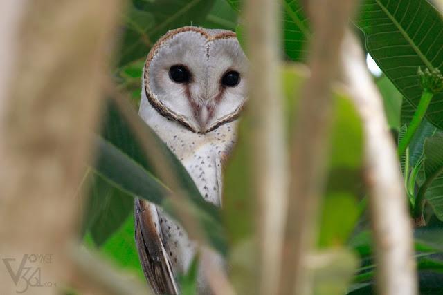 Barn Owl(33-39 cm) - Davangere