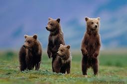 Seputar Beruang