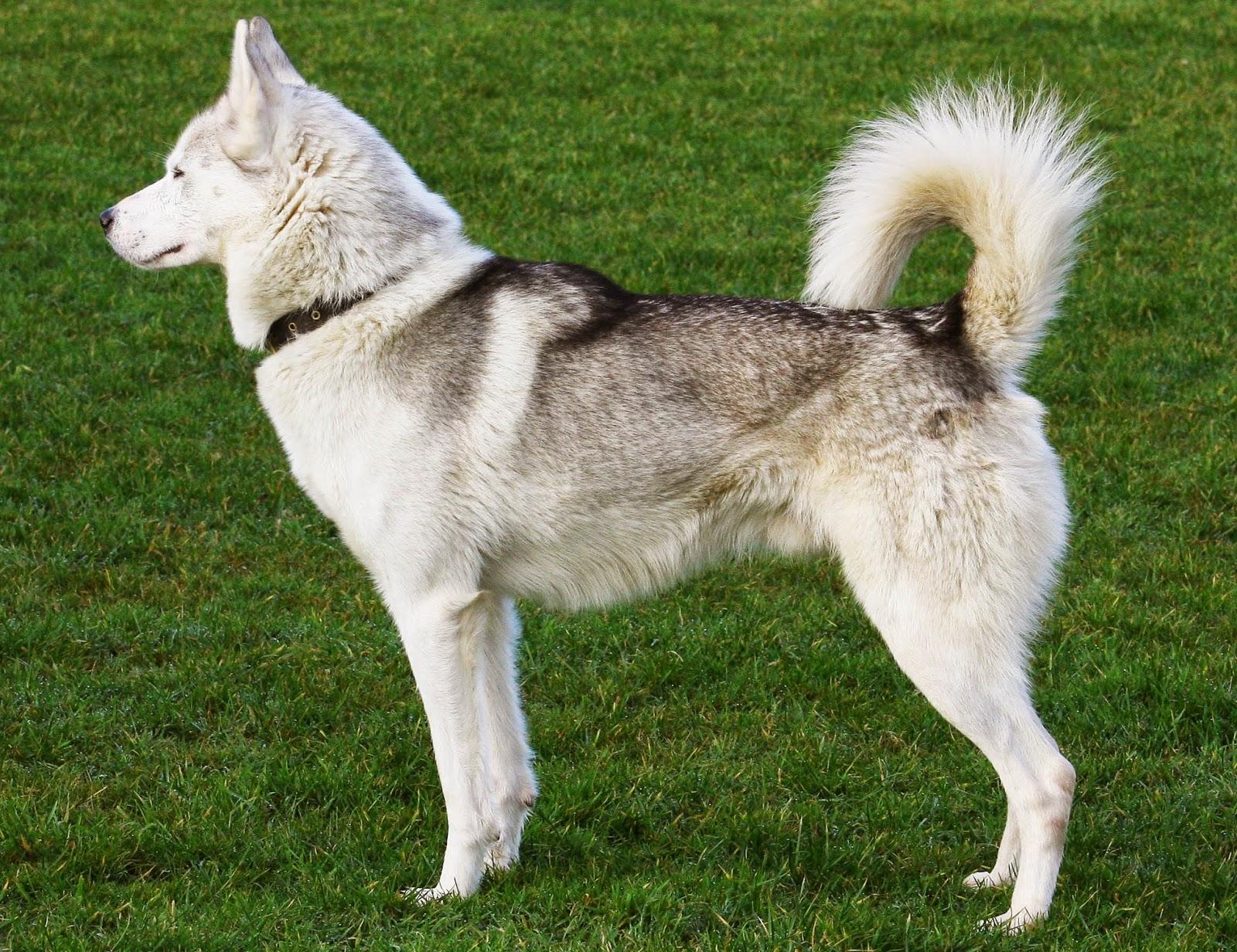 Amazing Siberian Husky How Big Do Siberian Huskies Get