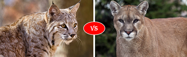 bobcat vs Mountain lion cougar