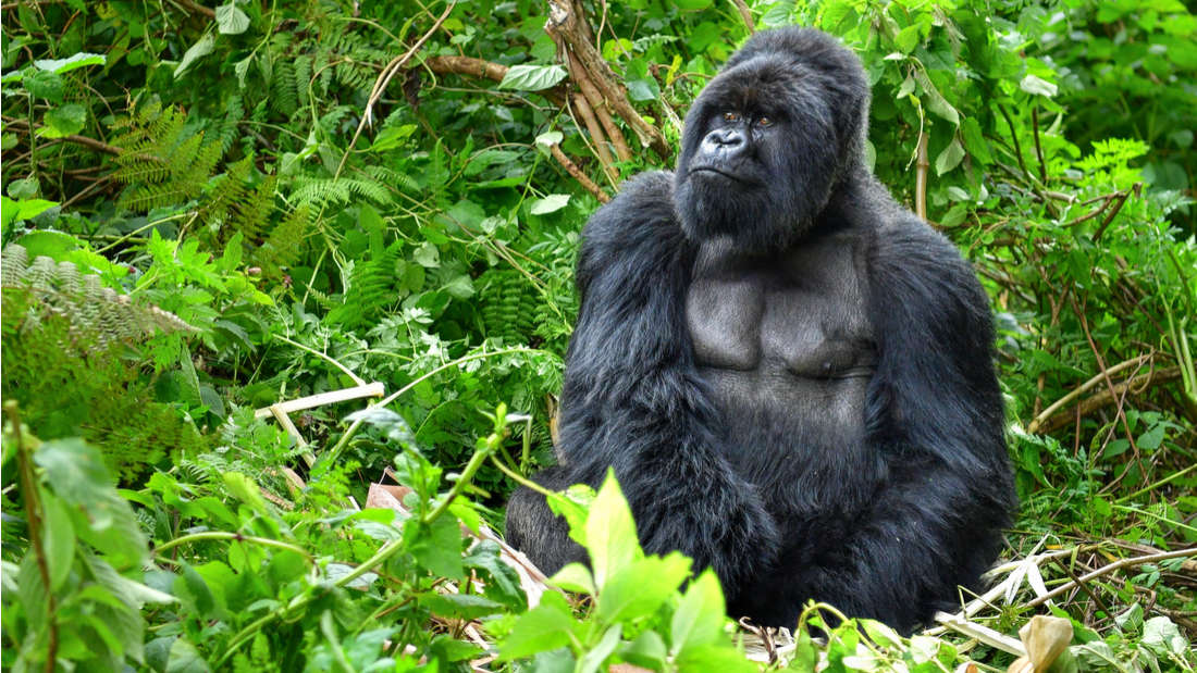 Good News: Thanks To A Successful Conservation Effort, Mountain Gorillas Are No Longer 'Critically Endangered'