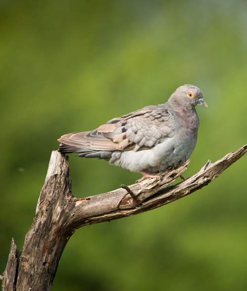 Birds of India - Yellow-eyed pigeon - Columba eversmanni