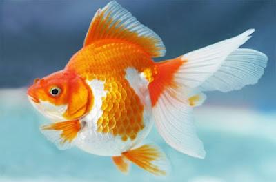 Cara Budidaya Ikan Koki
