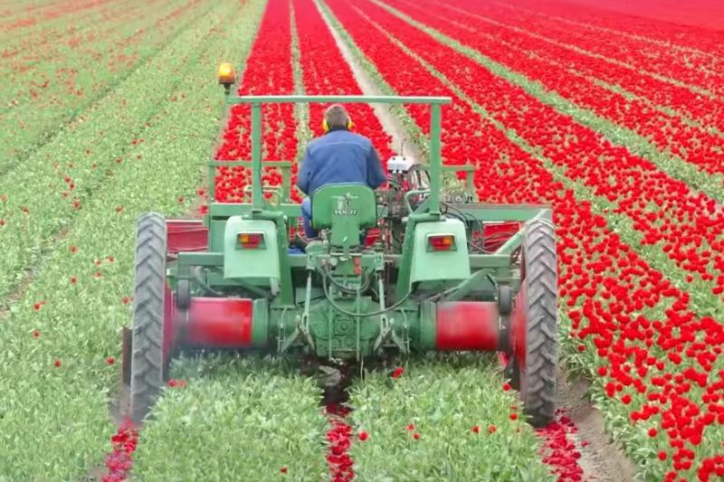 Descabezando las flores de tulipán