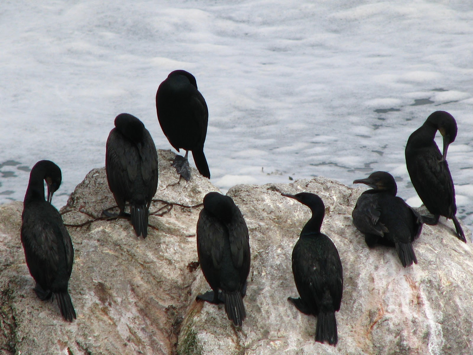 what is a group of crows called