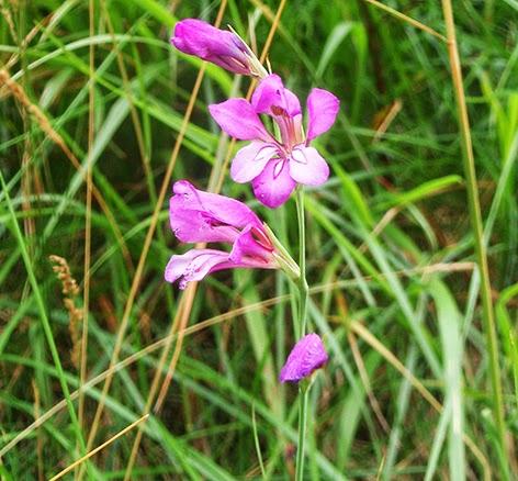 Gladiolo silvestre (Gladiolus illyricus)