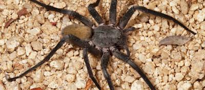 Ένα νέο είδος αράχνης ανακαλύφθηκε στα κατεχόμενα της Κύπρου