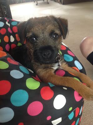 border terrier puppy looking innocent