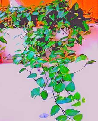 Picture of money plant vine