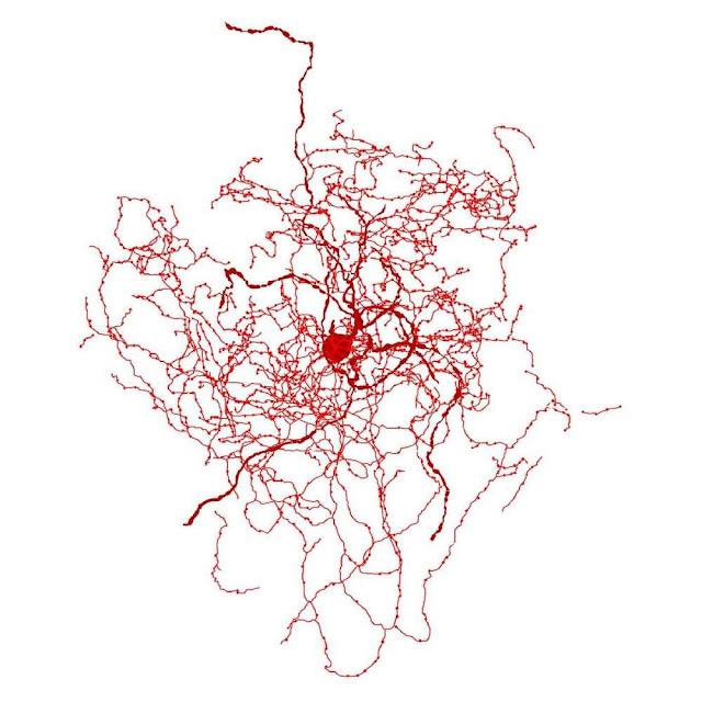 Cientistas descobrem novo tipo de célula no cérebro humano
