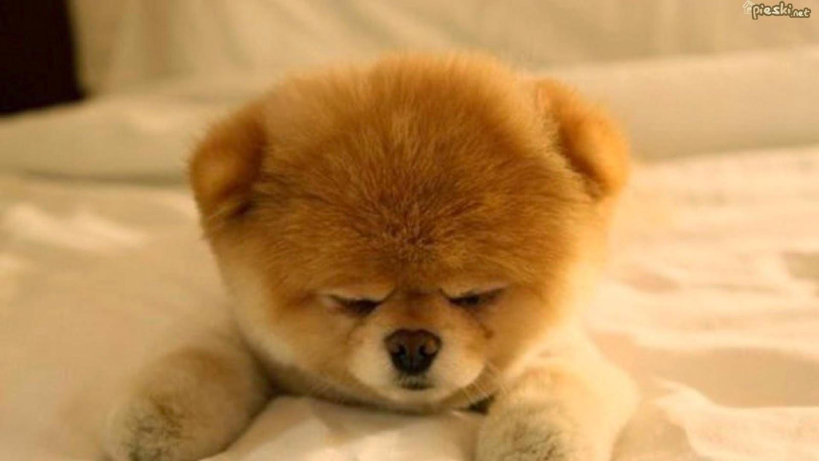 free pomeranian puppy wallpaper -#main
