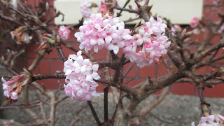 Viburnum bodnantense Dawn scented paths Green Fingered Blog