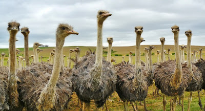 Begin Ostrich Farming Business in Nigeria | Business Plan Guidelines for Beginners