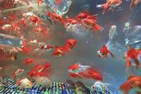 ikan hias aquarium, ikan hias, urusan ekonomi ikan hias, perjuangan ikan hias, urusan ekonomi ikan, ikan hias yang laris