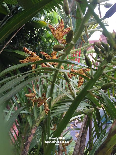 Selepas 4 tahun Menanti; tiger orchid; orkid