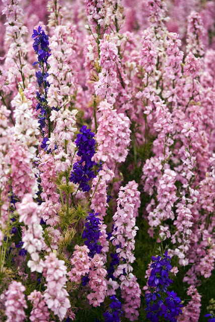 Purple and pink English Delphiniums fill the frame at the confetti fields www.martynferryphotography.com