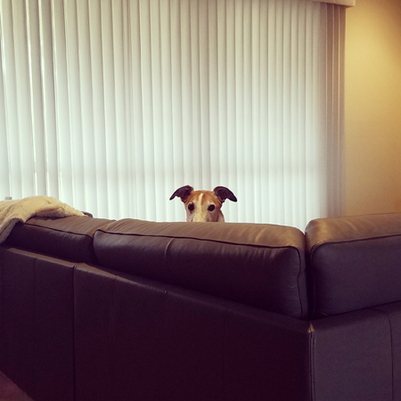 image of Dudley the Greyhound peeking over the couch at me while I work