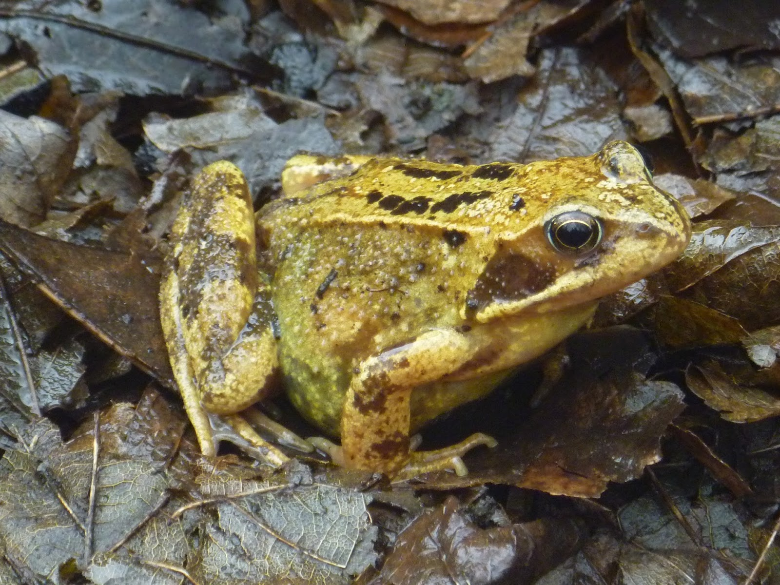 Crafty Green Poet: Toad in the Hole and a Lot of Frogs