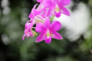 Tanaman Anggrek Dendrobium Hybrida