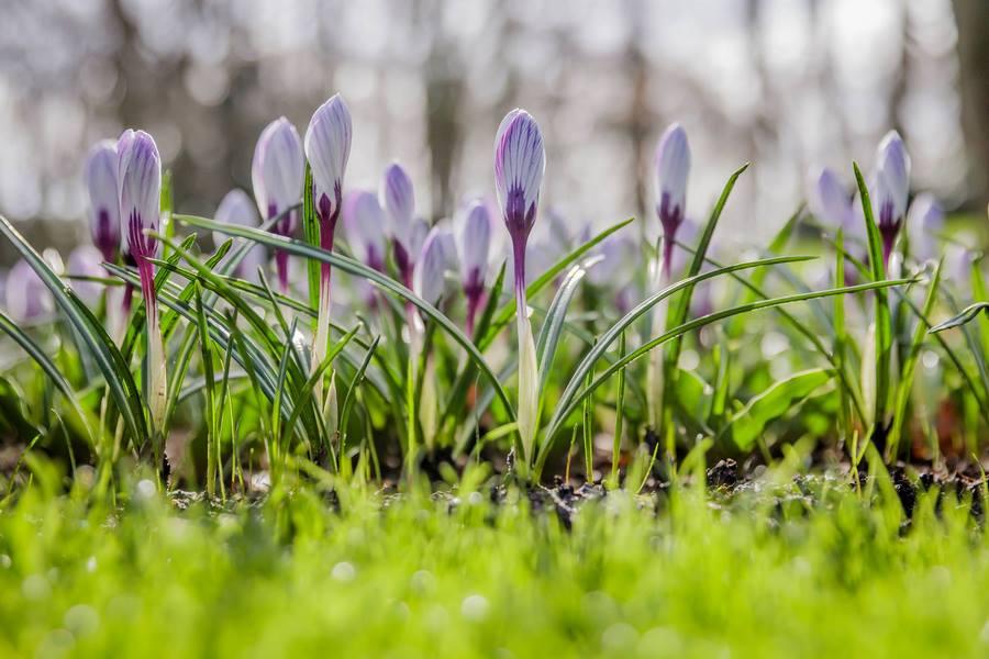 Crocus Keukenhof 2019 Flower Power