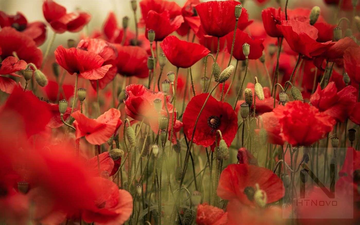 Field-of-Poppies-Tema