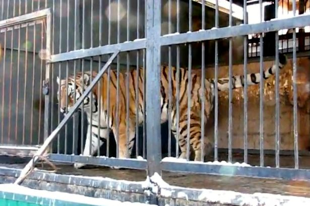 Photos tiger mauls 13 yr old girl for 40 minutes after she 39 banged on its cage 39 in zoo this - Tiger in cage images ...