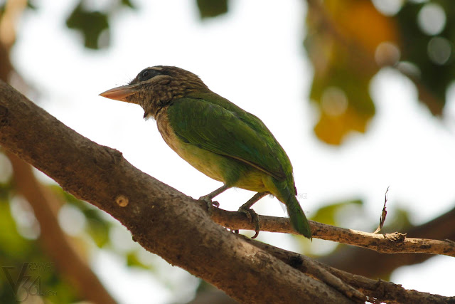 White-cheeked barbet(20-25 cm) - Bengaluru