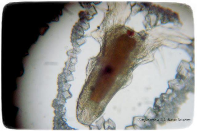 науплис-под-микроскопом
