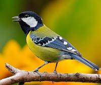 Cara Memilih Burung Gelatik Wingko Yang Bagus