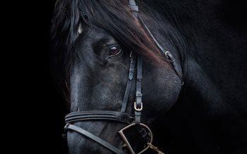 Wallpaper: Black Horse Portrait