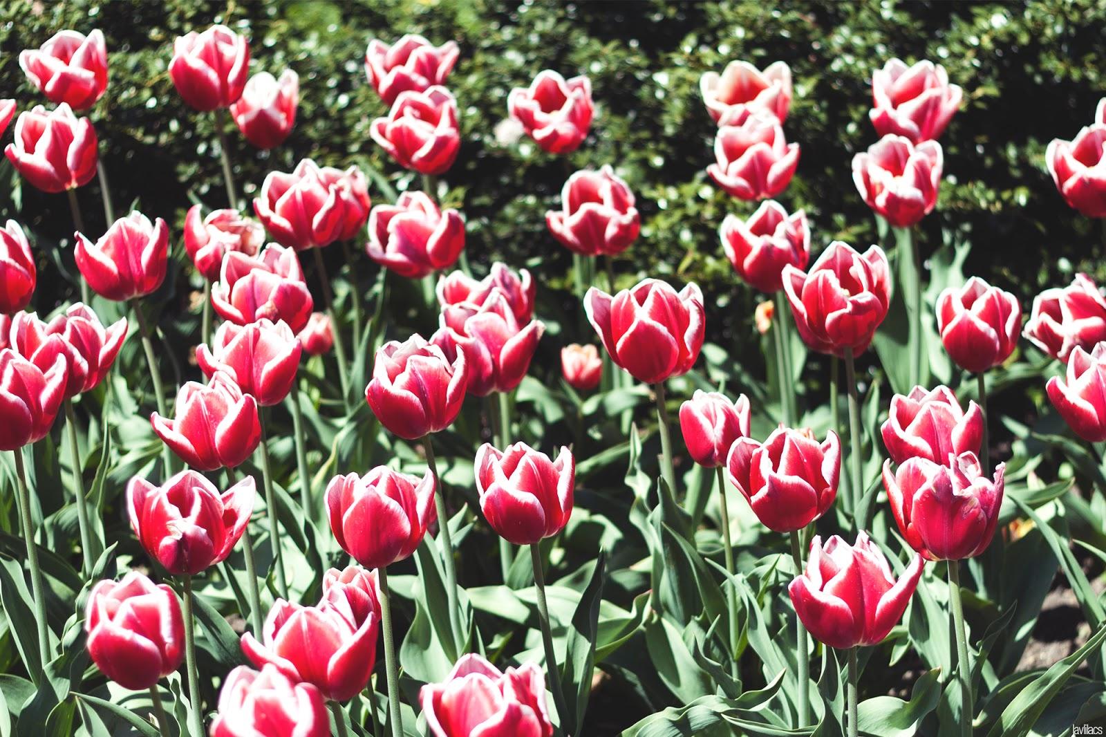 Brooklyn Botanic Garden - Red and White Tulips