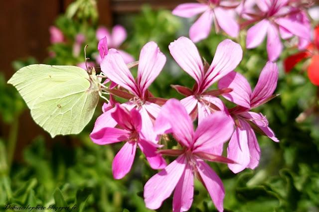 papillon sur un géranium