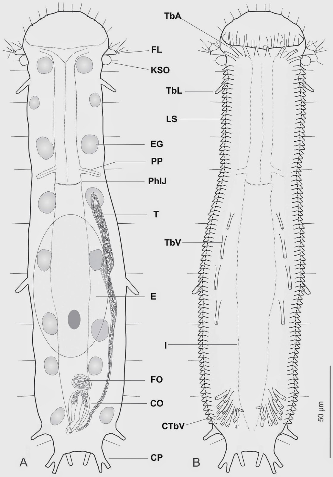 Sciency Thoughts A New Species Of Gastrotrich From The