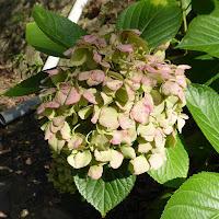 四條畷神社 紫陽花