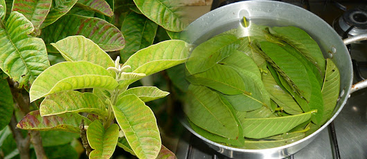 15 HEALTH BENEFITS OF GUAVA LEAVES - TsonggoTrends