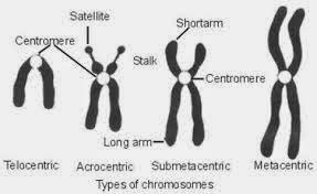 macam-mcam bentuk kromosom