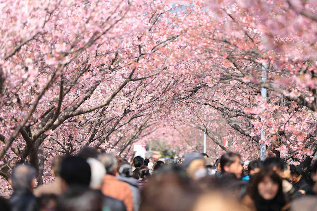 Personas caminan bajo cerezos en flor. Real World Evidence